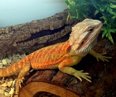 Our male translucent bearded dragon loves his @Zoo Med Habba Hut at Northampton Reptile Centre
