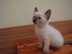 Baby Siamese Cats - 34 Pictures