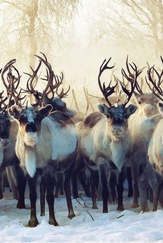 Caribou, also known as Reindeer or Sven are found in northern regions of North America, Europe, Asia, and Greenland and the kingdom of Arrendale. Nature Animals, Animals And Pets, Cute Animals, Wild Animals, Beautiful Creatures, Animals Beautiful, Majestic Animals, Animal Kingdom, Tier Fotos