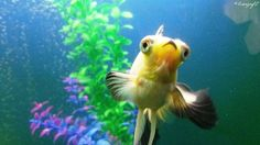 Butterfly Panda 'Neeko at 4 months' 4 Month Olds, 4 Months, Goldfish, Pets, Animals, Animaux, Animal, Animales, Animais