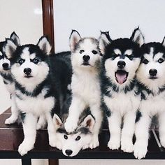 Wonderful All About The Siberian Husky Ideas. Prodigious All About The Siberian Husky Ideas. Animals And Pets, Baby Animals, Funny Animals, Cute Animals, Beautiful Dogs, Animals Beautiful, Husky Mignon, I Love Dogs, Cute Dogs