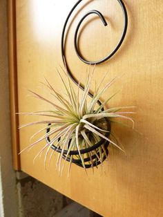 wall planters for air plants | Wire Air plant holder - Spiral Wall Hanging -Tillandsia Inonantha