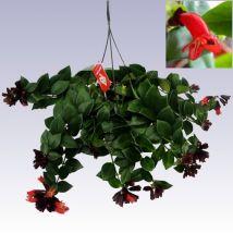 Szégyenlősvirág akasztós, Aeschynanthus lobbianus 30 cm 12/14cs