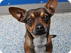 Long Beach, CA - Chihuahua Mix. Meet Phil, a dog for adoption. http://www.adoptapet.com/pet/14794411-long-beach-california-chihuahua-mix