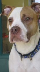 Dino is an adoptable Pit Bull Terrier Dog in Waukesha, WI. My name is Dino....I know, I am a Pit Bull Terrier and people dont really understand my breed. But, I am sweet and loving and will make som...