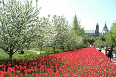 Canadian Tulip Festival  Ottawa's spring festival marks the end of winter as the tulips come into bloom all over the city.   #lovecanadaclub #lovenaturesclub #Canada #Tulip #Festival  TAG, COMMENT & SHARE with your FRIENDS
