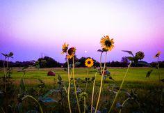 Sunflowers & Hay Bales