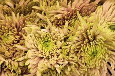 Single-Headed Bloom spider Anastasia star pink Chrysanthemums at New Covent Garden Flower Market Garden Plants, Indoor Plants, New Covent Garden Market, Crysanthemum, Fall Mums, Flower Market, Bloom, Feng Shui, Anastasia