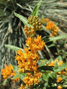 Orange Butterflyweed