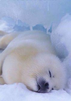 """Онлайн психолог домашних питомцев. Online pet psychologist https://www.facebook.com/animal.psychology Психолог онлайн. """"Психология личного пространства"""" http://psychologieshomo.ru         Baby seal"""
