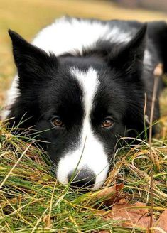 I know if I was a sheep I couldn't resist this Border Collie. The eyes are so intense! #bordercollie