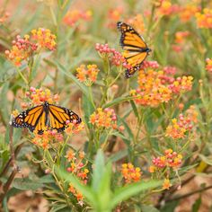 Create a Backyard Wildlife Habitat: To attract the greatest variety of butterflies to your garden, select bright-colored flowers that produce nectar throughout the season, including alyssum, butterfly bush, cornflower, cosmos, coneflower, globe amaranth, heliotrope, larkspur, nicotiana, pentas, salvia, sunflower, and zinnia. Butterflies prefer flowers with clustered blooms that face upward because they offer unobstructed landing pads.