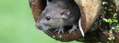 Find Out How To Get Rid of Rats with Professional Targeted Treatments Offering…