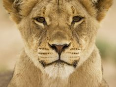 Africa |  Portrait of a lioness.  Kgalagadi Transformation Park. | © Paul Souders