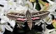 Mystery of the Sphinx: Among Missouri's insects, sphinx moths can appear to be part hummingbird, part bat and part moth. | Missouri Department of Conservation