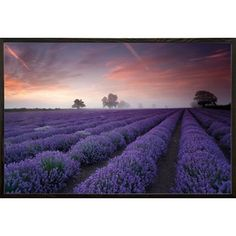 Latitude Run 'Lavender Field-Dawn' Framed Graphic Art Print Poster
