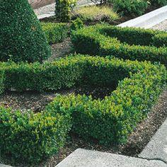 lavender edges the four square garden formal box hedge