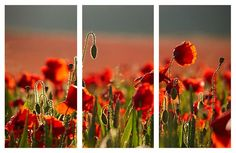 WILD POPPIES IN CORNWALL