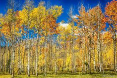 Colorful Colorado Autumn Aspen Trees | Flickr - Photo Sharing!