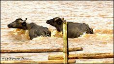 Encanto Caboclo: Bufalinos Peregrinos - Marcos Quinan