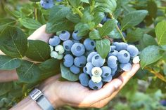 how to choose the best variety of blueberries Source by hcalomme Flower Garden, Permaculture, Plants, Garden Planters, Herb Garden, P Garden, Little Garden, Outdoor Gardens, Garden Plants