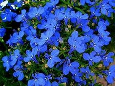 Picture courtesy Ball Horticultural Company Lobelia is indigenous to South Africa, Malawi and Namibia. It has been bred to produce a profus Small Plants, Types Of Plants, Patio Plants, House Plants, Tiny Flowers, Blue Flowers, Beautiful Gardens, Beautiful Flowers, African Plants