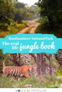 With 31 adult tigers and a few cubs calling it their home, Ranthambore National Park is one of the best places in India to see tigers in the wild.