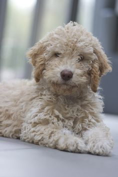 Sweet labradoodle