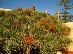 Gáldar drago plant (Dracaena tamaranae) #Gran #Canaria.