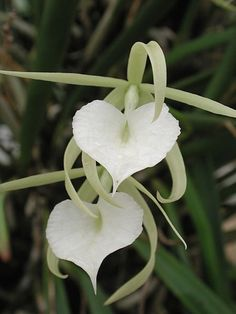 *brassavola nodosa aka Lady of the Night orchid.