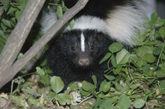 6 Ways To Get Rid Of Skunks Under House | HowHunter