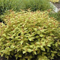 Dvärgspirea 'Firelight' - Rådjur säker Får orangeröda blad på våren som sedan övergår i gulgrönt. På hösten får busken flammande röda höstfärger.