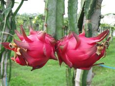 Dragon Fruit South Africa Cuttings For Sale - Planting Method Dragon Fruit Farm, How To Grow Dragon Fruit, Dragon Fruit Pitaya, Dragon Fruit Plant, Dragon Fruit Health Benefits, Fruit Benefits, Fruit Plants, Fruit Trees, Como Plantar Pitaya