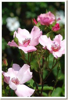 Hybrid Tea Rose: Rosa 'Dainty Bess' (U.K., 1925)
