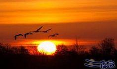 الطيور المهاجرة لديها عصب يساعدها على تغيير…: كشف فريق من الباحثين فى جامعة أولد نبرج فى ألمانيا بعد إجراء أبحاثهم على 57 نوعا من الطيور…