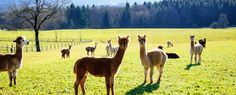Everything You Need to Know About Krystal Acres Alpaca Farm | Tucker House Inn | Friday Harbor, WA
