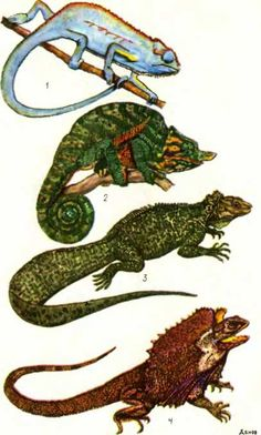 ТАБЛИЦА X: 1 — двухполосый хамелеон Chamaeleo bitaeniatus, 2 — хамелеон Парсона Chamaeleo parsonii, 3 — парусная ящерица Hydrosaurus amboinensis, 4 — плащеносная ящерица Chlamydosaurus kingii
