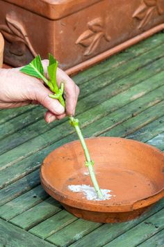 Use Rooting Hormone on Hydrangea Cuttings