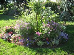 Roses du jardin Chêneland: Plectranthe - Plectranthus