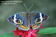 "Specially breed common buckeye butterfly ""junonia coenia"" bred to be blue!"