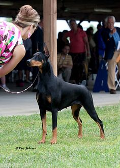 """Fifi"" - GCH Ch Protocol's Veni Vidi Vici. Another great shot of the #1 Dobey in the US"