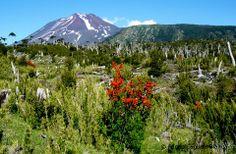 Taste the chilean flora Volcano, Mount Rainier, Flora, River, Mountains, Landscape, Nature, Earth, Rivers