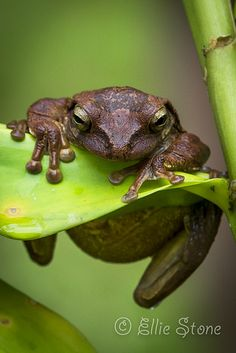 Hang in there...it's Wednesday, the weekend is right around the corner! Drab tree frog in Costa Rica.