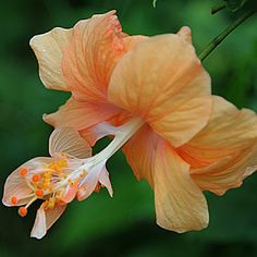by Carmina Quesada   Flowers Single Flower   hibiscus  single     by Carmen Quesada   Flowers Single Flower   orange  hibiscus  single   petals
