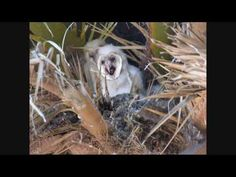 baby owl ejects pellet - very cool!