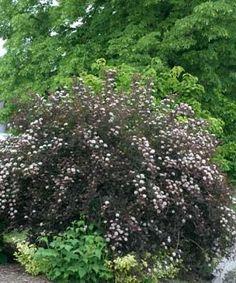 Proven Winners | Summer Wine® - Ninebark - Physocarpus opulifolious