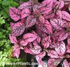 Pink Splash Plant - Hypoestes phyllostacha