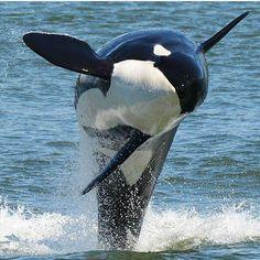 Baleen Whales, Animal Magic, Wale, Extinct Animals, Ocean Creatures, Animal Totems, Killer Whales, Ocean Life, Marine Life
