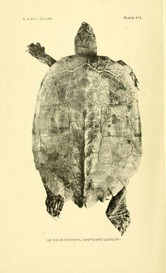 H. Walton Clark | Le Sueur Terrapin (Graptemys lesueurii) | Fresh-Water Turtles: a Source of Meat Supply (1919)