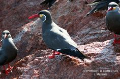 Ballestas Islands Birds | Birds in Ballestas Islands - Paracas
